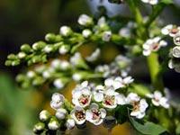 Lanutaralezaerp rboles y arbustos for Arbustos decorativos jardin