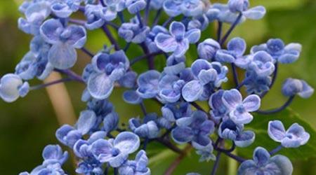 Tipos de arbustos: Hortensia