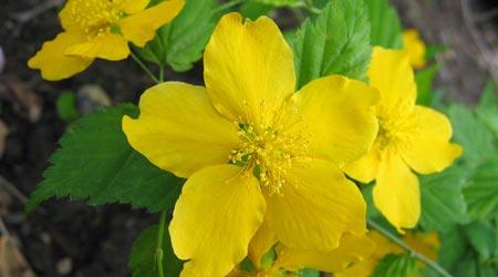 Arbustos: Kerria o Rosa japonesa