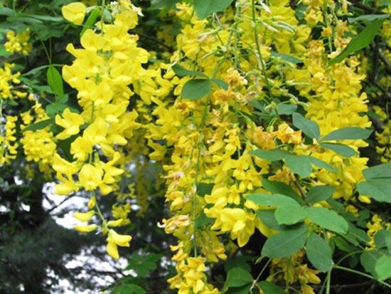 Tipos de arbustos for Tipos de arbustos ornamentales