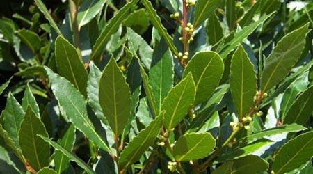 Clases de arbustos: Laurel