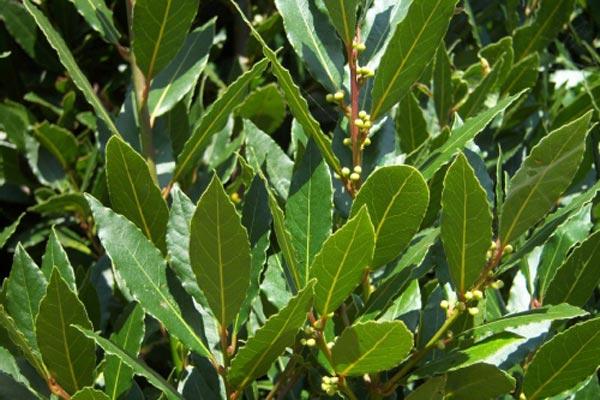 Clases de arbustos for Arboles con sus nombres y caracteristicas