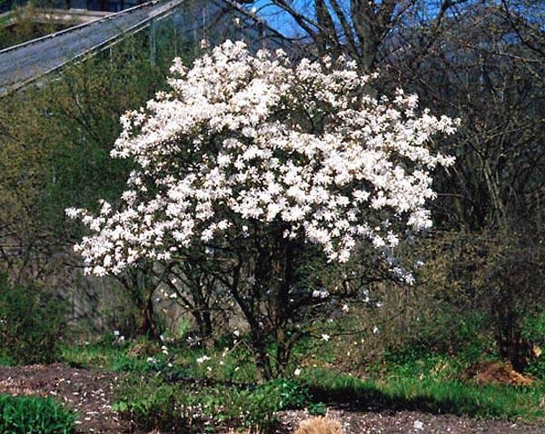 Clases de arbustos - Arbustos con flores ...
