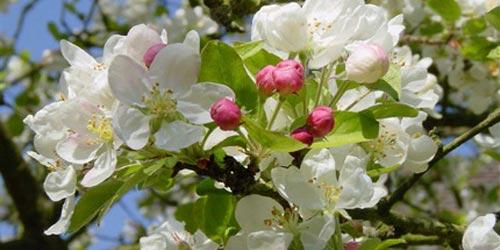 Cultivo de frutales cuidados generales for Cuando se podan los arboles frutales