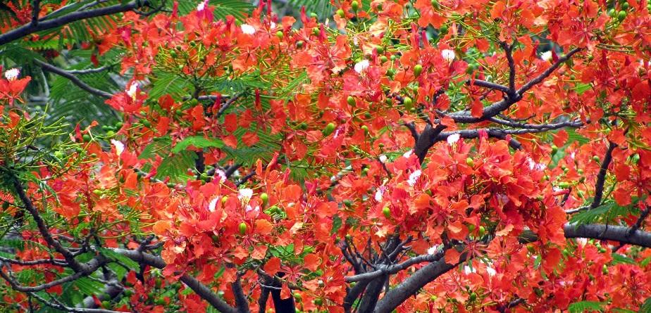 Cuidados básicos del árbol flamboyant