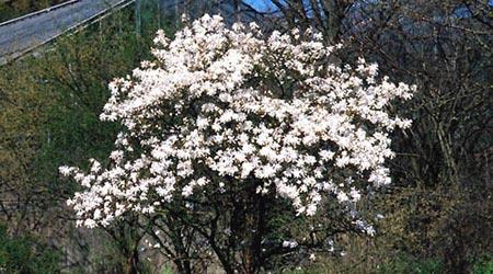 Clases de arbustos: Magnolia estrellada